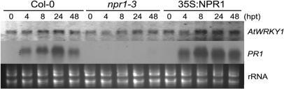 AtWRKY1 is partially NPR1-dependent in SA pathway. Four weeks old wild type (Col-0), npr1-3 and 35S::NPR1 Arabidopsis were sprayed with 2 mM SA and harvested at indicated time points. PR1 transcripts were detected the same as AtWRKY1 except for the difference of probe. The ethidium bromide stain of rRNA is shown for each lane to allow assessment of equal loading.