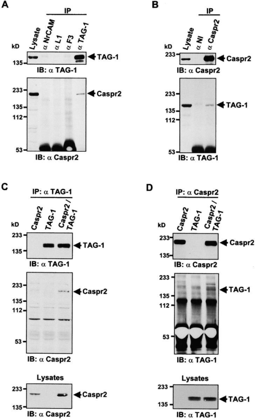 Association of TAG-1 and Caspr2 in brain and transfected COS-7 cells. (A and B) Association of TAG-1 and Caspr2 in brain. Rat brain proteins were extracted and subjected to IP with (A) αCaspr2 or (B) αTAG-1. The presence of specific proteins in the precipitates was examined by IB with the indicated antibodies. Aliquots of crude protein extracts (Lysate, 1/60 of protein amount used for each coIP) were also subjected to IB to verify the expression of the proteins. (A) Caspr2 was detected in immune precipitates with TAG-1 antibodies but not with antibodies against other IgSF proteins (αNrCAM, αL1, and αF3). (B) TAG-1 was detected in immune precipitates with Caspr2 antibodies but not nonimmune serum (αNI). (C and D) Association of TAG-1 and Caspr2 in transfected COS-7 cells. Lysates from COS-7 cells overexpressing either Caspr2 or TAG-1 alone, or both, were prepared as described in Materials and methods and subjected to IP either with (C) αTAG-1 or (D) αCaspr2. Precipitates were resolved by SDS-PAGE, analyzed by IBs with antibodies against Caspr2 and TAG-1, to detect the presence of specific proteins (C and D, top and middle). Aliquots of crude protein extracts (Lysates) were also subjected to immunoblotting to verify the expression of the proteins (C and D, lower panels). TAG-1 antibodies coIP Caspr2 only in doubly transfected cells (C), whereas Caspr2 antibodies pulled-down TAG-1 only in cotransfected cells (D). Note the slight shift of migration of Caspr2 in the presence of TAG-1, which results in a doublet with a predominant lower band in cotransfected cells (C, Lysates). The position of molecular mass markers (kD) is indicated.