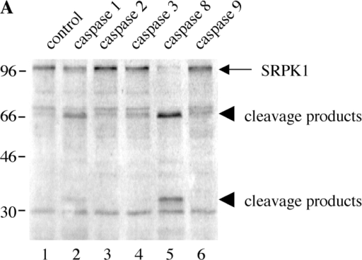 Human SRPK1 and SRPK2 are differentially cleaved by recombinant caspases in vitro. SRPK1 and SRPK2 were synthesized by in vitro transcription/translation and incubated with the recombinant caspases indicated by number at the top of each figure. Proteins were separated by SDS-PAGE, transferred to nitrocellulose, and detected by autoradiography. The relative migration of molecular size markers in kilodaltons is indicated on the left side of each panel. Lanes are numbered at the bottom of each panel.