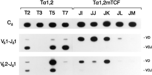 PCR analysis of Tα1,2 and Tα1,2mTCF minilocus rearrangement. Genomic DNA templates from unfractionated thymocytes of  Tα1,2 mice from lines T2, T3, T5, and T7, and of Tα1,2mTCF mice  from lines JI, JJ, JK, JL, and JM (all 4 wk old) were amplifed by PCR using the indicated primers. Southern blots were probed with radiolabeled  Cδ, Vδ1, or Vδ2 DNA fragments. The positions of 1.2-kb VD and 0.3-kb  VDJ rearrangement products are indicated.