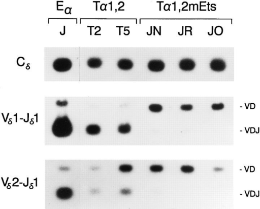 PCR analysis of Eα, Tα1,2, and Tα1,2mEts minilocus rearrangement. Genomic DNA templates from unfractionated thymocytes of  an Eα mouse from line J, of Tα1,2 mice from lines T2 and T5, and of  Tα1,2mEts mice from lines JN, JR, and JO (all 4 wk old) were amplified  by PCR and probed as in Fig. 2.