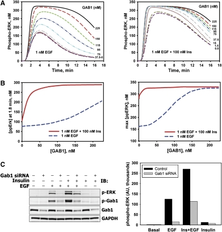 Effects of GAB1 depletion on ERK activation induced by EGF, insulin, or their combination. (A) Computational analysis of ERK activation kinetics in response to 0.1 nM EGF in the absence (left panel) or presence (right panel) of 100 nM insulin at the indicated levels of GAB1 protein. Time courses are shown for 225 nM (control; black—solid line), 150 nM (red—long dash line), 115 nM (dark yellow—short–long–short dash line), 95 nM (dark pink—long–short–short dash line), 75 nM (green—short dash line), 37.5 nM (blue—dash–dot line), 15.0 nM (cyan—dash–dot–dot line), 1.5 nM (gray—long–short dash line) and 0 nM (dark red—dotted line) GAB1 concentrations. (B) Simulated dependences of phospho-ERK level at 1.8 min (left panel) and maximal phospho-ERK level (right panel) on the GAB1 abundance for cells stimulated with 0.1 nM EGF in the presence (red solid line) or absence (blue dashed line) of 100 nM insulin. (C) HEK293 cells transfected with specific siRNA against GAB1 (+) or non-targeting siRNA (−) were stimulated with 100 nM insulin and/or 1 nM EGF for 1.5 min. Immunoblots were analyzed for phosphorylated ERK1/2 (T202/Y204) or GAB1 (Y627). GAB1 protein levels demonstrate the efficacy of GAB1 suppression. GAPDH was used as a loading control. Representative blot (left panel) and the bar graph of respective numerical values (right panel) are shown.