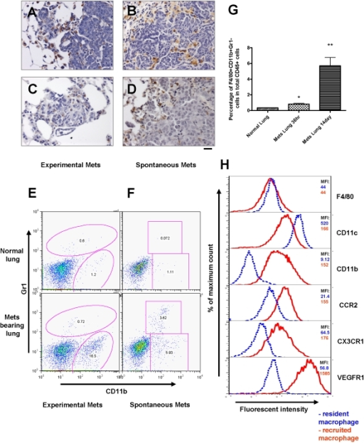 Recruitment of a distinct macrophage population in metastasis bearing lungs.(A–D) Pulmonary metastasis of breast cancer cells are highly infiltrated with macrophages. Representative Mac3 immunohistochemistry staining of transverse sections of lung metastatic lesions from different tumor models: (A) experimental metastasis of primary PyMT tumor cells; (B) spontaneous metastasis derived from a MMTV-PyMT induced mammary tumor; (C) experimental metastasis of Met-1 cells and (D) spontaneous metastasis derived from subcutaneously implanted MDA-231 cells. Bar equals 20 um. (E) Representative flow diagram of CSF-1R-GFP positive cells from normal lung (upper panel) and metastasis bearing lung from experimental metastasis assay of Met-1 cells (lower panel). n = 5 (F) Representative flow diagram of CSF-1R-GFP positive cells from normal lung (upper panel) and lung bearing spontaneous metastasis from MMTV-PyMT induced mouse mammary tumor (lower panel). n = 3 (G) Recruitment of CD11b+Gr1- macrophages (F4/80+) in lungs with experimentally induced metastasis with Met-1 cells. Lungs were harvested at time indicated after tumor cell i.v. injection. Data are shown as mean+SEM. n = 3, *p<0.05 and **P<0.01. (H) Representative flow histograms of normal lung macrophages (F4/80+, blue dashed line) versus recruited macrophage population (F4/80+CD11b+Gr1-, red solid line) from lungs bearing Met-1 cell metastases stained with antibodies of different cell surface makers (indicated at the right side of the histogram). X axis indicates the fluorescent intensity, Y axis indicates the percentage of maximum cell number, MFI (top right panel) denotes representative mean fluorescent intensity (n = 3).