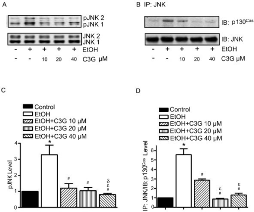 Effects of C3G on ethanol-induced activation of JNKs. MCF7ErbB2 cells were treated with ethanol (0 or 400 mg/dl) with/without C3G (10, 20 or 40 μM) for 48 h. Cells were seeded on fibronectin-coated culture wells for 3 h. A: Cell lysates were collected and analyzed for the phosphorylation/expression of JNKs with immunoblotting. B: Cell lysates were IP with an anti-JNK antibody and IB with either an anti-p130Cas or anti-JNK antibody. The experiment was replicated three times. C and D: The phoshorylation of JNKs and the association between JNKs and p130Cas were quantified by densitometry. * denotes a statistically significant difference from untreated controls. # denotes a significant difference from ethanol-treated groups. ε denotes a significant difference from ethanol- and C3G (10 μM)-treated groups. δ denotes a significant difference from ethanol- and C3G (20 μM)-treated groups.