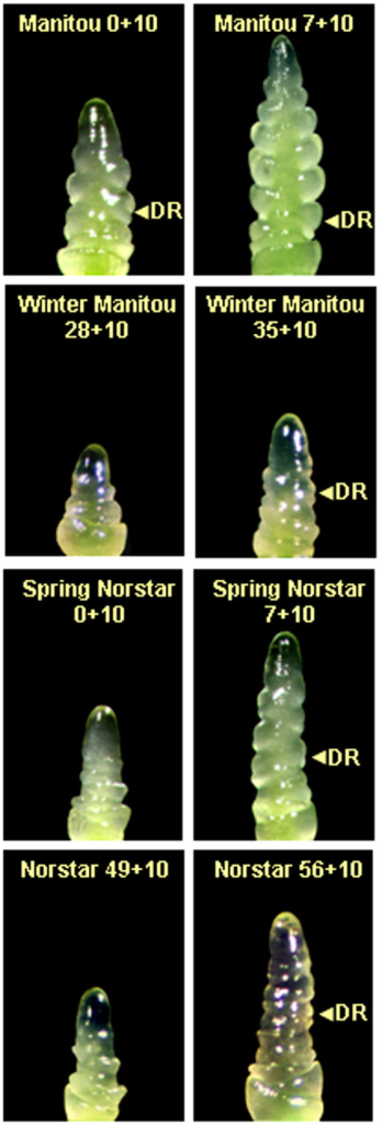 Shoot apex development in winter Norstar and spring Manitou and the near isogenic lines spring Norstar and winter Manitou. Day 0 is the start of vernalization/acclimation at 6°C following 2 d growth at 4°C plus 13 d at 20 to 22°C (15 day pre-treatment). First number in each plate indicates the days the plants were grown at 6°C. Second number (10) indicates that the plants were grown an additional 10 days at 20°C before sampling for dissection e.g., 7 + 10 indicates 7 d at 6°C followed by 10 d at 20°C. Arrow indicates double ridge. The apices of samples that bracket the vegetative to reproductive phase transition for each genotype are shown. A) Manitou 0+10 SAM at stage-5; B) Manitou 7+10 SAM at stage-7; C) Winter Manitou 28+10 SAM at stage 0; D) Winter Manitou 35+10 SAM at early stage-5; E) Spring Norstar 0+10 SAM at stage-2 F) Spring Norstar 7+10 SAM at stage-5; G) Winter Norstar 49+10 SAM at stage-2 H) Winter Norstar 56+10 SAM at stage-5. DR, double ridge, was used as a marker of a reproductive meristem.