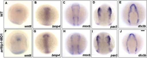 Expressions of ectodermal patterning factors appear normal in arl6ip1-MO1-injected embryos.Dorsal views of wild-type (A–E) and arl6ip1 morphant (F–J) embryos at the 3-somite stage. Anterior to the top. The neural ectodermal patterning factors of wnt8 (A, F), bmp4 (B, G), msxb (C, H), dlx3b (D, I), and pax3 (E, J). Normal expressions of these genes reveal that ectodermal patterning factors are not affected in arl6ip1 morphants, suggesting that Arl6ip1 does not have a role in ectodermal patterning. Scale bar: 100 µm.