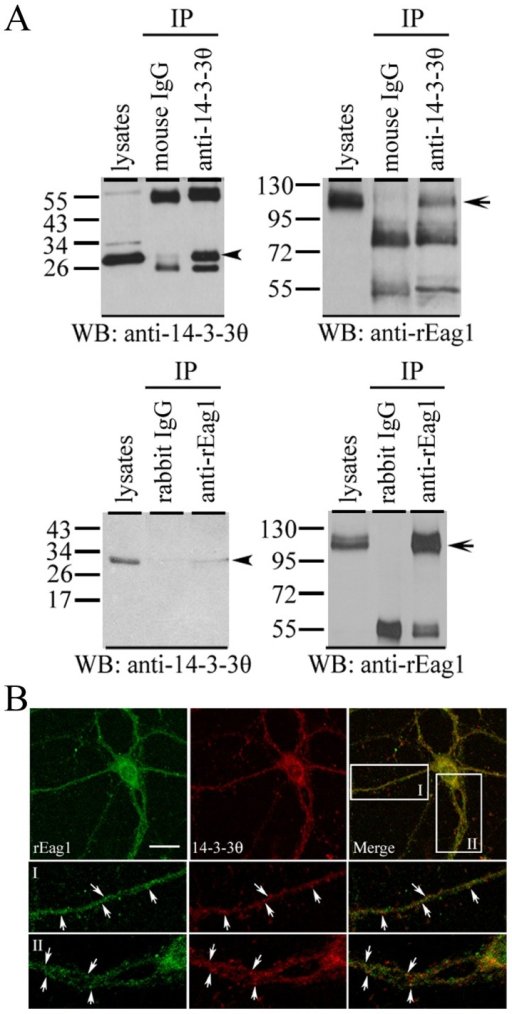 Endogenous expression of 14-3-3θ and rEag1 in neurons.(A) Co-immunoprecipitation of 14-3-3θ and rEag1. Detergent solubilized proteins from the lysates of rat forebrain were immunoprecipitated (IP) with the anti-14-3-3θ (upper panel) or the anti-rEag1 antibody (lower panel), followed by immunoblotting (WB) analyses with the anti-14-3-3θ or the anti-rEag1 antibody. The non-immune mouse or rabbit IgG was used in parallel as negative control. Input volumes correspond to 5% of the total cell lysates used for immunoprecipitation. The arrowhead and arrow refers to the protein bands of 14-3-3θ and rEag1, respectively. (B) Immunofluorescence staining of rEag1 (left panels) and 14-3-3θ (middle panels) in cultured hippocampal neurons. The area highlighted in the white boxes is viewed under a higher magnification (I, II). Arrows label the sites of co-localization of 14-3-3θ and rEag1 (right panels), which displayed significant punctuate patterns over a wide region along the neurites. Scale bar, 25 µm. These co-immunoprecipitation and immunofluorescence data are representative of four to seven independent experiments.