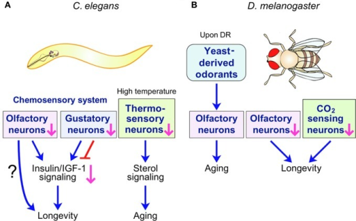 C. elegans and D. melanogaster sensory systems influence lifespan. (A)C. elegans chemosensory and thermosensory systems regulate lifespan through hormonal signaling. Specific chemosensory (olfactory or gustatory) neurons promote or limit longevity. Insulin/IGF-1 signaling can mediate this longevity response downstream of chemosensory neurons. Perturbation of thermosensory system accelerates aging at high temperatures by influencing the sterol hormonal signaling pathway. (B) Chemosensory systems regulate D. melanogaster lifespan. Olfaction of nutrient-derived odorants promotes the aging of long-lived D. melanogaster upon dietary restriction (DR). Perturbation of the D. melanogaster olfactory system and inhibition of the CO2-sensing system both prolong lifespan. However, the signaling pathways regulated by D. melanogaster chemosensory systems to influence lifespan are unknown.