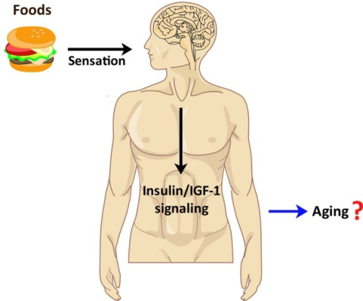 Implication of chemosensory regulation in human aging. Food perception by sensory systems in humans appears to increase human insulin/IGF-1 signaling. Because the insulin/IGF-1 signaling pathway is known to regulate mammalian lifespan, perhaps human chemosensation also influences aging via the insulin/IGF-1 pathway.