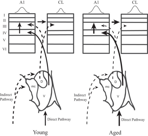 Two parallel thalamo-cortical circuits to auditory cortex in young (left) and aged (right) monkeys. Simplified schematic diagram of the ventral and dorsal thalamo-cortical connections to the internal and supragranular layers in the macaque auditory system. The illustration in to lower aspect represents the three main subdivisions of the medial geniculate, the dorsal (D), ventral (V), and medial (mc) divisions. The ventral pathway is from the ventral division to the middle cortical layers of A1 (left) whereas the dorsal pathway initiates in the dorsal division and projects to the upper layers of both A1 and CL. A1 also projects directly to CL. Requiring coincidence of these two pathways is one mechanism by which spatial tuning could be sharpened in CL relative to A1 in young monkeys. In aged monkeys, the increase of activity in A1 and CL degrades with the cortical dynamics that sharpen spatial tuning in CL relative to A1. Abbrevations: V, ventral division of the MGN; D, dorsal division of the MGN; mc, medial division of the MGN; A1, primary auditory area; CL, caudolateral belt area.