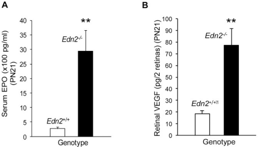 Systemic erythropoietin (EPO) and retinal vascular endothelial growth factor (VEGF) is increased in Edn2−/− mice.At PN21, serum EPO was increased 11-fold in Edn2−/− vs. Edn2+/+ mice (n = 7; p<0.005) (A) and retinal VEGF was increased 4-fold (n = 4; p<0.005) (B). EPO and VEGF were both measured using ELISA assays. Error bars indicate SEM.