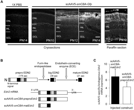 Expression of GFP and Edn2 from subretinally injected scAAV5.(A) The temporal and spatial expression of GFP in WT retinas injected subretinally with 1X PBS or scAAV5-smCBA-Gfp at PN8 and evaluated at PN10, PN12, and PN14 by GFP immunofluorescence (A, Panels 1–4). Significant GFP staining was not observed until PN12, with stronger staining at PN14, especially in the vicinity of the subretinal injection site (arrow). The spatial expression of GFP in WT retinas injected with scAAV5-smCBA-Gfp was also evaluated in paraffin sections at PN12 (A, Panel 5). GFP expression was observed predominantly in the ONL and RPE; sporadic expression of GFP in Müller cells was also observed in paraffin sections. (Bar = 25 µm.) (B) Schematic of the EDN2 cleavage events required to produce the mature EDN2 peptide. EDN2 is first produced as prepro EDN2 (175 aa) which is rapidly processed by furin-like endopeptidases to yield big EDN2 (38 aa). Big EDN2 must then be cleaved by an endothelin-specific converting enzyme (ECE) to produce the 21 a.a. mature EDN2 peptide that can bind to endothelin receptors (figure adapted from [68]). The regions of the Edn2 mRNA corresponding to the cDNAs cloned into the scAAV5-smCBA-preproEdn2 and scAAV5-smCBA-matEdn2 vectors are shown. (C) Expression of scAAV5-derived Edn2 mRNA in Pde6brd1/rd1 retinas at PN12 after injection of the scAAV5-smCBA-preproEdn2 and scAAV5-smCBA-matEdn2 constructs at PN8. scAAV5-derived Edn2 mRNA expression values are shown relative to the levels of endogenous Edn2 mRNA (from the same retina) and all values were normalized to Gapdh. scAAV5-preproEdn2 transcripts were increased between 1.7 and 7.2-fold (n = 4; average 4.3-fold) over endogenous Edn2 mRNA, while scAAV5-matEdn2 transcripts increased between 2.5 to 11.3-fold over the endogenous Edn2 mRNA (n = 4; average 6.9-fold). ONL, outer nuclear layer; INL, inner nuclear layer; GCL, ganglion cell layer. Error bars indicate SEM.