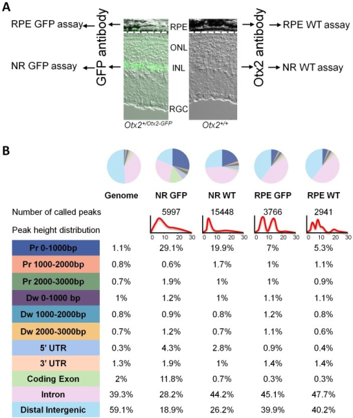 Tissue-specific Otx2 genome binding in the retina.A. Experimental design: four independent ChIP experiments were performed. RPE and neural retine (NR) nuclei of Otx2+/Otx2−GFP mice were subjected to the GFP assays using a GFP antibody, and RPE and NR nuclei of Otx2+/+ mice were subjected to the WT assays using an Otx2 antibody. B. Genome distribution of Otx2 bound regions (OBRs). Upper panel: colour-coded pie chart showing peak distribution of each ChIP-seq assay compared to global genome distribution. Below, number of OBRs and peak height distribution of each assay are shown. Lower panel: percentage of peaks in defined functional domains of the genome for each assay. Colour-code is as in pie charts.