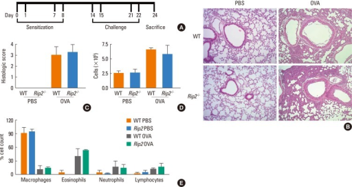 OVA-induced airway inflammation in WT and RIP2-deficient mice. A schematic diagram of the experimental design (A). Mice were sensitized by i.p. administration of OVA mixed with adjuvant at days 0, 1, 7, and 8. On days 14, 15, 21, and 22, mice were challenged with OVA or PBS. Photographs of lung tissues were obtained from H&E-stained sections (B) and histopathological scores were determined semi-quantitatively by microscopic examination (C). Total cell numbers in the BAL fluids were counted (D) and a differential cell count was performed using Diff-Quick staining (E). Data are expressed as means±SD.