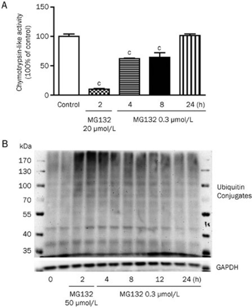 Proteasome activity. (A) Chymotrypsin-like protease activities of HepG2 cells treated with vehicle, 20 μmol/L MG132 (positive control) or 0.3 μmol/L MG132 for indicated times. (B) Western blot analysis of ubiquitinated proteins in HepG2 cells. The data are representatives of three independent experiments. cP<0.01 vs control.
