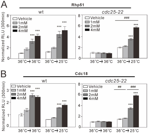 "rhp51+ and cdc18+ transcription in synchronized cdc25-22 cells treated with HU.Wild-type cells transformed with the full-length rhp51+ (A) or cdc18+ (B) reporter were cultured to mid-log phase at 25°C in EMM and shifted to 36°C for 4 h. The cells were then maintained at 36°C continuously for G2 block (""36°C→36°C"") or shifted to 25°C for block and release (""36°C→25°C""). The cells were treated with HU at 1 mM, 2 mM, or 4 mM or with vehicle, as described in Figure 2B. The reporter activity at 300 min was analyzed and plotted as described in Figure 2B. n = 8 and 4 for each group in the block condition and the block and release condition, respectively. ***P<0.001 compared with the vehicle condition for the respective genotype and temperature condition using one-way ANOVA. ##P<0.01 and ###P<0.001 compared with G2 block at the same HU concentration using one-way ANOVA."
