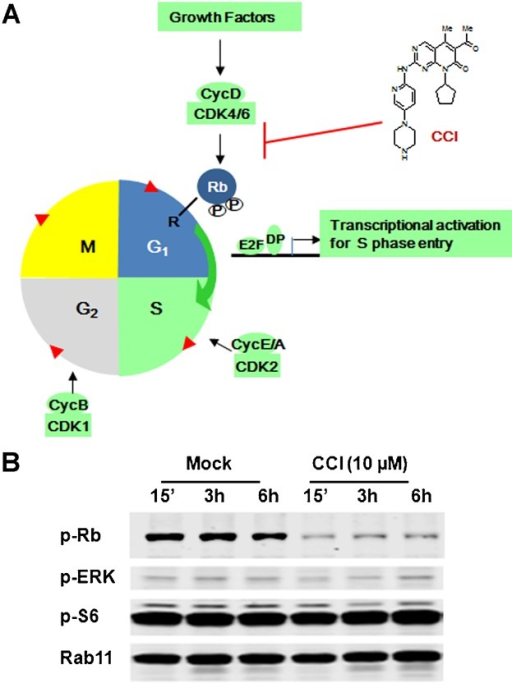 Selective CDK4/6 inhibition by small molecule compound. (A) Schematic diagram of the cell cycle and function of a selective CDK4/6 specific inhibitor. E2F, E2 transcription factor; DP, E2F dimerization partner; R, restriction checkpoint. (B) Whole cell extracts with or without CCI treatment were assayed for protein levels of phospho-Rb (p-Rb), phospho-ERK (p-ERK), phospho-S6 (p-S6) by Western blot. Rab11 was used as a loading control.