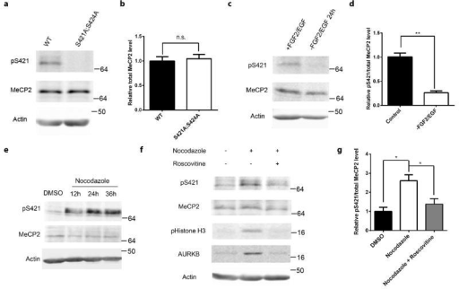 Phosphorylation of MeCP2 S421 is regulated by cell cycle in aNPCs(a,b) Western blot analysis of MeCP2 S421 phosphorylation and the quantification of total MeCP2 protein level in WT and phosphor-mutant aNPCs. (p=0.718, unpaired t-test with Welch's correction, n=3 in each group) (c,d) Western blot analysis and quantification of the relative MeCP2 S421 phosphorylation level in WT aNPCs under normal proliferating condition and FGF2/EGF withdrawal for 24 hours. (n=3 in each group) (e) Western blot analysis reveals that MeCP2 S421 phosphorylation is induced by synchronizing aNPCs with nocodazole (150ng/ml). (f,g) Western blot analysis and quantification of the relative MeCP2 S421 phosphorylation level in aNPCs under conditions: 1) DMSO, 2) 36 hours of nocodazole treatment, 3) 24 hours of roscovitine (25 μM) treatment after pre-synchronization of the cells by nocodazole for 12 hours. (n=3 in each group) Numbers next to Western blots are molecular weight markers. The bar graph shows the mean ± s.e.m * p<0.05 ** p<0.01
