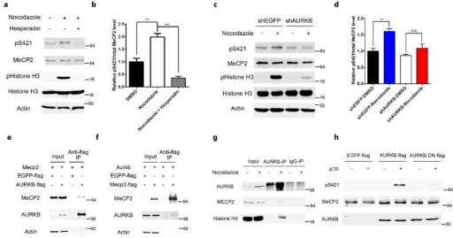 Aurora kinase B is required for MeCP2 S421 phosphorylation in the aNPCs(a,b) Western blot analysis and quantification of the relative MeCP2 S421 phosphorylation level in aNPCs: 1) DMSO, 2) 36 hours of nocodazole (150ng/ml) treatment, 3) 24 hours of hesperadin (2 μM) treatment after pre-synchronization of the cells by nocodazole for 12 hours. (n=3 in each group) (c,d) Western blot analysis and quantification of the relative MeCP2 S421 phosphorylation level in EGFP-shRNA or AURKB-shRNA lentivirus infected aNPCs, which are treated with DMSO or nocodazole for 24 hours. (e,f) Western blot analysis reveals that MeCP2 and AURKB are co-immunoprecipitated reciprocally. (g) Western blot analysis reveals endogenous interaction between MeCP2 and AURKB in aNPCs. (h) In vitro kinase assay followed by Western blot demonstrates that AURKB can phosphorylate S421 on MeCP2. Numbers next to Western blots are molecular weight markers.