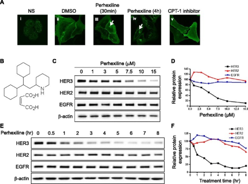Identification of perhexiline as a novel agent that promotes HER3 internalization and degradation. (A) Perhexiline promotes HER3ΔNLS2-YFP internalization. As a control to HER3ΔNLS2-YFP cellular distribution, endogenous HER3 expression in MDA-MB-468 cells was detected by immunofluorescence staining (i). U2OS cells stably expressing HER3ΔNLS2-YFP were used to screen for compounds that promote HER3 internalization. Representative confocal images shown in panels (ii to v) were taken from cells expressing HER3ΔNLS2-YFP that were treated with DMSO, 10 μM perhexiline for 30 minutes and 4 hours, and 20 μM CPT-1 inhibitor etomoxir for 4 hours, respectively. Arrows indicate intracellularly localized puncta of internalized HER3ΔNLS2-YFP receptors. (B) Structure of perhexiline maleate. (C) Perhexiline induces dose-dependent downregulation of endogenous HER3 receptors. Cell lysates prepared from SK-BR-3 cells treated with different concentrations of perhexiline for 8 hours were analyzed for the expression of HER3, HER2, and EGFR. β-actin was used as a loading control. (D) Quantification of HER3, HER2, EGFR protein expression following perhexiline treatment. Western blots shown in (C) were quantified by normalizing to β-actin. (E) Time course of perhexiline-induced downregulation of endogenous HER3 in SK-BR-3 cells. Cells treated with 10 μM perhexiline for the indicated time were analyzed for endogenous HER3, HER2, and EGFR expression. (F) Quantification of HER3, HER2, EGFR protein expression following perhexiline treatment. Western blots shown in (E) were quantified by normalizing to β-actin. CPT-1, mitochondrial carnitine palmitoyltransferase-1; DMSO, dimethyl sulfoxide; EGFR, epidermal growth factor receptor; HER3, human epidermal growth factor receptor 3.