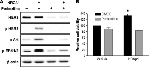 Perhexiline treatment inhibits neuregulin-mediated activation of downstream signaling and cell proliferation. (A) MDA-MB-468 cells were cultured in the absence or presence of perhexiline (10 μM) for 6 hours, and subsequently stimulated with DMSO or NRGβ1 (10 ng/ml) for 10 minutes. Cell lysates were analyzed for the phosphorylation of HER3 (Tyr1289), Akt and ERK1/2 as well as total HER3 expression. (B) Perhexiline inhibits NRGβ1-induced cell growth. MB-MDA-468 cells were treated for 72 hours with vehicle (0.2% BSA in PBS) or NRGβ1 (10 ng/ml) in the presence of DMSO or perhexiline (2 μm). Cell growth was measured using the MTS assay. NRGβ1 treatment resulted in 33.5% increase of cell proliferation. Perhexiline inhibits 11.5% cells in vehicle media and 36.3% cell growth in NRGβ1 media. Data are presented as the mean ± SEM (n = 3). The statistical significance between DMSO control and perhexiline treatment in vehicle media or NRGβ1 media was analyzed by a two-tailed Student's t test, (with *P <0.05 defined as significant compared to the control group with only NRGβ1 treatment). BSA, bovine serum albumin; DMSO, dimethyl sulfoxide; ERK, extracellular signal-regulated protein kinase; HER3, human epidermal growth factor receptor 3; NRGβ1, neuregulin β1; PBS, phosphate-buffered saline; SEM, standard error of the mean.