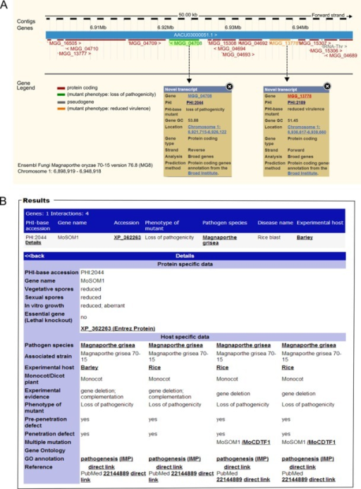 Inspection of gene function using the Ensembl genome browser. (A) Displayed is a small chromosomal region in Magnaporthe oryzae showing two genes involved in pathogenicity (as annotated in PHI-base) in their genomic context (viewable in the Ensembl browser, in the transcript display). A colour code indicates the annotated role of each gene, green 'loss of pathogenicity' and orange 'reduced virulence'. (B) By selecting each colour-coded MGG transcript ID, information is revealed on the associated gene deletion study curated in the PHI-base database.