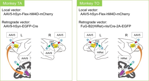 Target pathway and injected local and retrograde virus vectors.AAV5 was injected into the bilateral LPFC of both monkeys. AAV9 was injected into the left Cd and the right FEF of Monkey TA. HiRet was injected into the right Cd and the left FEF of Monkey TO.