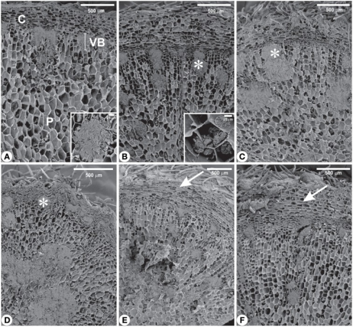 Scanning electron microscopy from rhizophores of Chrysolaena obovata submitted to daily watering—control (A), water suppression—day 10 (B), day 12 (C), day 22 (D), and re-watering—day 12 (E), day 22 (F). Note the altered distribution of inulin (*), mainly after 22 days of water suppression (D), and restoration of outermost tissues (arrows) after re-watering (E,F). Details: (A) Cluster of inulin globules. (B) Isolated inulin globules. C, cortex; P, pith; VB, vascular bundle.