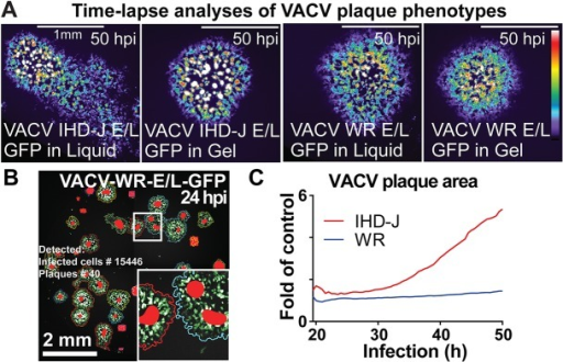 Time-lapse analyses of plaque phenotypes from VACV WR and IHD-J strains demonstrate contribution of cell-free virus to spreading.(A) Still micrographs of representative plaque phenotypes from VACV-IHD-J-E/L-GFP and VACV-WR-GFP in either gelled or liquid medium. (B) Example of VACV-WR-E/L-GFP live microscopy plaques (24 h pi) analyzed by Plaque2.0 software. Here superimposed on the micrograph from the GFP signal, green colored pixels designate foreground pixels detected by thresholding, colored line designates plaque borders and red spots highlight local intensity maxima. This procedure allows detection of adjacent plaques. (C) The relative plaque area normalized to the plaque area from gelled medium was plotted as a function of time. Note that VACV-IHD-J plaques occupy a larger area than VACV-WR at late stages of infection owing to cell-free EEV. Results represent averages from over 50 plaques for each condition from 8 technical replicas.