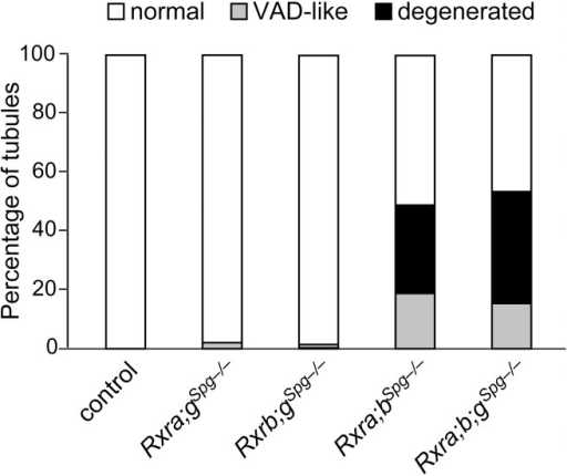 RXRA and RXRB are both instrumental to spermatogonia differentiation.Mean percentages of tubule sections showing normal cellular associations (white bars), abnormal associations resembling the VAD situation with either one or two generations of germ cells lacking (grey bars), and degenerated epithelium containing only spermatogonia and Sertoli cells (black bars) in testes of 12 month-old mice (n = 5) with the indicated genotype. Mice lacking Rxrg and either Rxra (Rxra;gSgp–/– mutants) or Rxrb (Rxrb;gSgp–/– mutants) are marginally affected. In contrast, mice simultaneously lacking Rxra and Rxrb (Rxra;bSgp–/– mutant) displayed a high proportion of affected tubule sections. Additional ablation of Rxrg does not worsen the pathological phenotype (Rxra;bSgp–/– mutant). This indicates that RXRG is dispensable, whereas RXRA and RXRB are both required and exert redundant functions in spermatogonia.