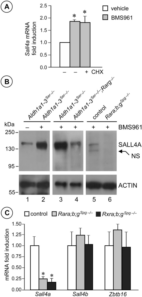 Sall4a expression in undifferentiated spermatogonia is controlled by ligand-activated RARG.(A) Relative expression of Sall4a mRNA quantified by RT-qPCR in Aldh1a1-3Ser−/− testes cultured in the absence (−) or in the presence (+) of cycloheximide (CHX) and treated for 6 hours with vehicle (white bar) and BM961 (grey bars). Error bars represent s.e.m. (n = 5); * p < 0.05. (B) Western blot analysis of protein extracts from testes of mutants as indicated treated with BMS961 (+) or with vehicle (−), using anti-SALL4 or anti-ACTIN antibodies. NS points to an unspecific signal. (C) Relative expression of Sall4a, Sall4b and Zbtb16 mRNA quantified by RT-qPCR in whole testes from control (white bars), Rara;b;gSpg−/− (grey bars) and Rxra;b;gSpg−/− (black bars) mice at PN60. Error bars represent s.e.m. (n = 5); * p < 0.05.