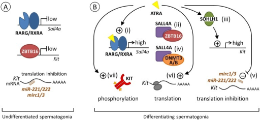 Proposed model for the regulation of Kit expression by ATRA during the transition from Aal to A1 spermatogonia.(A) Spermatogonia at an undifferentiated state. ATRA is not available to activate RARG/RXRA heterodimer and transcription of Sall4 is low. Transcription of Kit is also low because ZBTB16 is bound to its promoter [48]. In addition, translation of Kit mRNA already present in cells [2,49,50] is prevented by the Mirc1, Mirc3 and miR221/222 small interfering RNAs (brown comb) [50,51]. (B) Spermatogonia at a differentiating state upon ATRA action. (i) At the Aal-A1 transition, one possible way for ATRA (yellow triangle) to regulate Kit expression is to activate RARG/RXRA heterodimer, which increases Sall4a expression (high, our study). (ii) SALL4A in large amount can then sequesters ZBTB16 [14], clearing Kit promoter and relieving the repression of Kit transcription normally exerted by ZBTB16 [48]. (iii) ATRA is also proposed to increase the level of SOHLH1, which can replace ZBTB16 on regulatory regions to increase Kit expression (high) [52]. Sohlh1 is however not a direct target of RARG as RAR-binding sites are not found in this gene [34] and its expression is not induced by BMS961 (our study). (iv) Alternatively, SALL4A can also interact with DNMT3A/B to facilitate the epigenetic shift required for A1 differentiation [42,43]. (v) In parallel, ATRA can further induce KIT protein through decreasing expression of microRNA such as Mirc1, Mirc3 and miR221/222 that prevent Kit mRNA translation. How ATRA regulate miRNA expression is however unknown, as RARE have not been identified in the vicinity of their promoters [34,50,51]. ATRA can also function as a rapid, non-genomic, agent by (vi) increasing the loading of Kit mRNA on polysomes (grey ovals) and its translation [41] and (vii) inducing phosphorylation of KIT (orange stars) and of downstream KIT-effectors, reinforcing commitment towards the A1 spermatogonia fate [53].