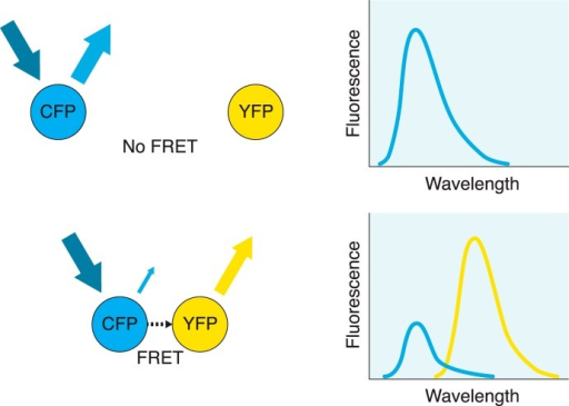 Fluorescence resonance energy transfer. In this FRET example, cyan fluorescent protein (CFP) acts as the donor and yellow fluorescent protein (YFP) as the acceptor. When the two fluorophores are separated by a considerable distance, exposing the sample to light with the excitation frequency for CFP results in an emission spectrum corresponding to CFP only, with no contribution from the acceptor (top). When the two fluorophores are nearby (typically in the range of 10 to 100 Å), exposing the sample to the same light results in a nonradiative energy transfer from CFP to the nearby YFP acceptor, causing YFP to emit at its emission frequency (bottom). At the same time, due to the transfer of energy, emission from CFP is considerably reduced. Detection of YFP emission indicates that fluorescence resonance energy transfer has occurred between the two fluorophores as a result of their close proximity. By fusing these fluorophores to the receptors of interest, dimerization can be implied if fluorescence resonance energy transfer is observed.