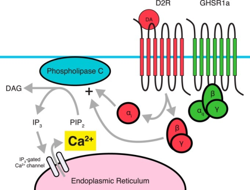 Dimerization between D2R and GHSR1a. Proposed signaling through D2R involves coupling to a Gi pathway, which typically does not involve intracellular Ca2+ accumulation from the endoplasmic reticulum. Dimerization with GHSR1a, in the absence of a ghrelin ligand leads to a PLC-dependent accumulation of Ca2+. D2R's Gβγ subunit acts to stimulate PLC activity, and αi coupling by D2R is also required for Ca2+ accumulation. In contrast, Gαq activity associated with GHSR1a is not required for D2R-induced Ca2+ accumulation. It is believed that the D2R-GHSR1a dimer is responsible for the anorectic effects of D2R agonists such as cabergoline.