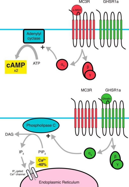 Dimerization between MC3R and GHSR1a results in amplification of MC3R signaling and attenuation of GHSR1a signaling. While it is believed that the pathways involved are not changed, changes in the amplitude of the signals occur. Dimerization with stimulation of MC3R leads to a twofold amplification of MC3R-induced cAMP accumulation (top), while the GHSR1a protomer shows a ligand-dependent as well as ligand-independent 40% reduction in Ca2+ accumulation when dimerized with MC3R (bottom). Amplification of MC3R signaling appears to be dependent on GHSR1a's constitutive activity.