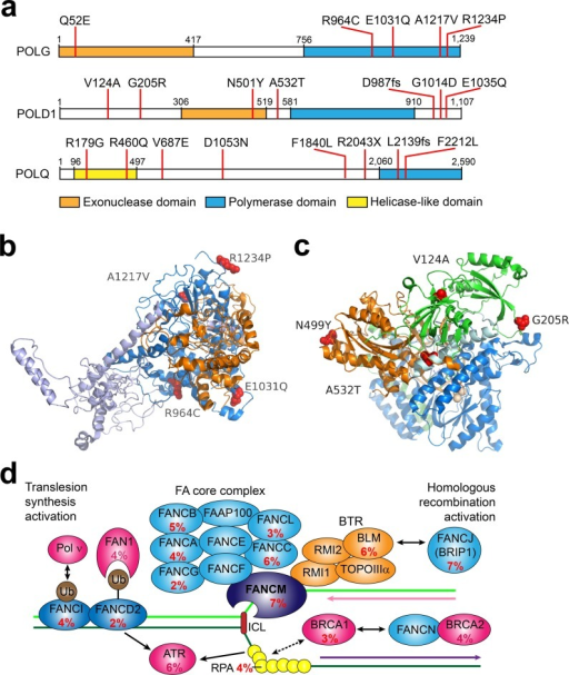 Top mutated DNA polymerases and mutation prevalence in Fanconi anemia pathway genes in SCLC.a) Schematic representation of amino acid changes in human POLG, POLD1, POLQ proteins; b) the amino acid alterations in human POLG catalytic domain. Mutations were mapped onto the structure of human POLG using PDB Id entry 3IKM as template [6]. c) Relevant amino acid alterations in POLD1. Mutations in human POLD1 gene were mapped onto structure of the yeast DNA polymerase subunit δ using PDB entry 3IAY Orange colored ribbon represents exonuclease domain, blue colored ribbon corresponds to polymerase domain, and the green ribbon represents the N-terminal portion of the protein [27]. The mutations in both structures are shown in red spheres. d) Mutation prevalence in Fanconi anemia pathway genes.