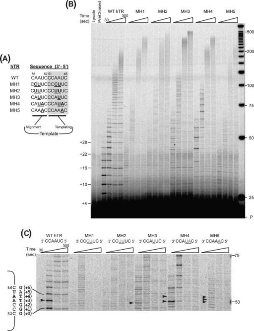 Effect of hTR template sequence on primer extension by 867M hTERT. (A) Wild type and V867M hTERT proteins were reconstituted with wild type and template mutant (MH) hTR RNAs (23) shown. (B) Primer extension reactions were carried out under competitor challenge conditions as detailed in Materials and Methods section. Post-chase aliquots were taken at 3 and 30 min and analyzed via PAGE. Pre-chased lane: 30-min extension reaction where excess competitor primer was added before adding IVR wild-type telomerase. Lysate lane: extension reaction with control IVR containing RRL only. (C) Enlarged view of region between 48 and 75 nt. Sequence of the WT hTR template (nucleotides 46–51) is shown along with the sequence of the wild-type product. The number of nucleotides added onto a previously copied full repeat is indicated in parentheses. Arrowheads indicate product accumulation prior to copying a template A residue.