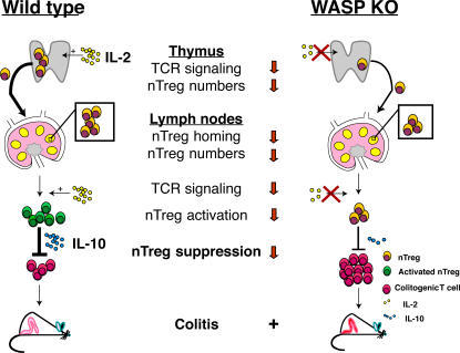 Proposed model for nTreg cell dysfunction and colitis development in WKO mice. Decreased nTreg cell numbers in both the thymus and the periphery (lymph nodes) are observed in WKO mice and may result from IL-2 deficiency and TCR activation defects. IL-2 deficiency, aberrant nTreg cell homing, activation, and reduced IL-10 secretion lead to impaired suppression of colitogenic T cells and colitis.
