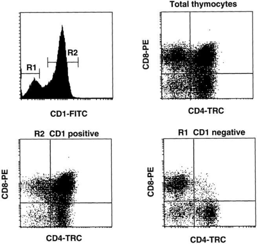 Expression of CD1a on CD4+CD8+DP, CD4+SP, and  CD8+SP postnatal thymocyte populations. Total postnatal thymocytes  were stained with CD1a FITC, CD8 PE, and CD4 TRC. The dot plots  show the pattern of CD4 against CD8 staining of total thymocytes gated  on CD1a− (R1) and CD1a+ (R2) thymocytes.