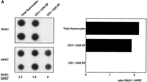 RAG-1 expression of total  unseparated thymocytes and CD1a−  and CD1a+ CD8 (A) and CD4 SP  (B) postnatal thymocytes. Thymocytes  were depleted with magnetic beads for  >97% of CD4 or CD8 positive cells.  CD4− cells were labeled with CD8  FITC, CD1a PE, and CD3 TRC and  sorted from CD1a+ and CD1a−  CD3+CD8+ SP cells (A). Likewise,  CD1a+ and CD1a− CD4+ SP cells  were sorted from CD8− cells stained  with CD4 FITC, CD1a PE, and CD3  TRC (B).