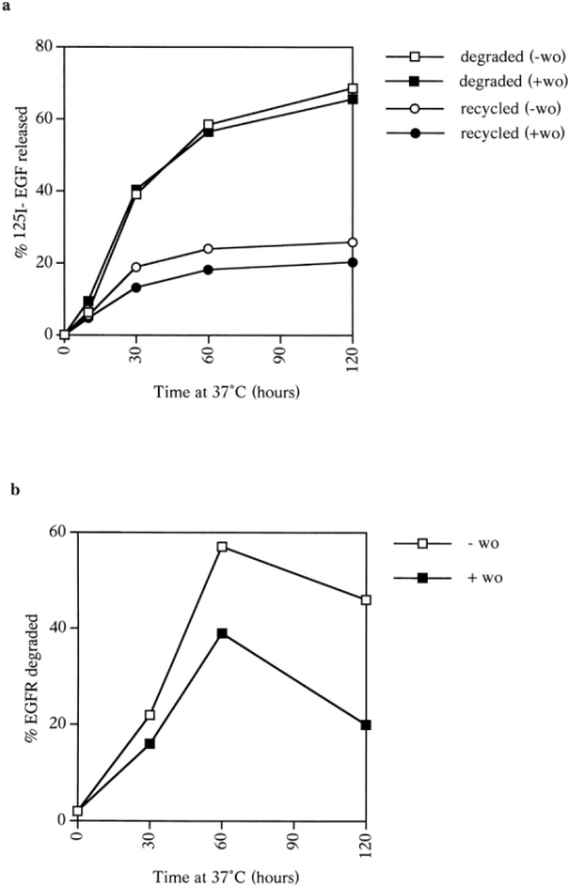 The effects of wortmannin on EGF and EGFR degradation. (a) Cells were incubated with 125I-EGF for 1 h at 20°C, surface stripped, and chased at 37°C in the absence or presence of wortmannin (wo) for up to 2 h. Media samples were TCA precipitated to determine the percentage of degradation. (b) Cells were incubated with EGF for 1 h at 20°C and then chased at 37°C for up to 2 h in the absence or presence of wortmannin (wo). Cell lysates were analyzed by SDS-PAGE followed by Western blotting with an antibody against the cytoplasmic domain of the EGFR. Percentage degradation is calculated by comparison with the amount of EGFRs in cells not treated with EGF.