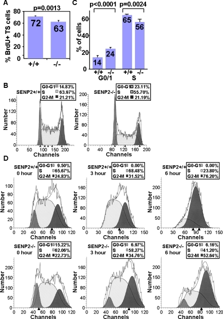SENP2 Is Critical for the G1–S Transition of Mitotic Division in TS Cells(A) BrdU labeling for 1 h measured the proliferation rate of the SENP2+/+ and SENP2–/– TS cells in vitro. The graph shows the average percentages of the BrdU-positive cells in three independent experiments (p = 0.0013, n = 3).(B,C) Flow cytometric analysis of the PI-stained SENP2+/+ and SENP2–/– TS cells to determine their cell cycle profiles. The result shown in (B) is a representative of four independent experiments, and the graph in (C) shows the average percentage of the G0–G1 and S populations (n = 4). A consistent increase in the G0–G1 population (p < 0.0001) and decrease in the S population (p = 0.0024) was detected in the SENP2 mutants.(D) The SENP2+/+ and SENP2–/– TS cells were treated with nocodazole for 0, 3 and 6 h as indicated. Flow cytometric analyses showed that there was a delay in synchronizing the SENP2–/– cells upon the nocodazole treatment.