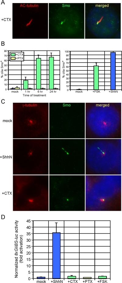 Modulation of Gαs and protein kinase A (PKA) causes Smo accumulation in a proximal region of the primary cilium.(A) Treatment of wild-type MEFs with cholera toxin (CTX) for 24 hours induces Smo (green) translocation to the cilium (red). (B) Quantification of CTX- and FSK-induced Smo ciliary translocation after treatment for the indicated times. Treatment of wild-type MEFs with pertussis toxin (PTX) does not stimulate ciliary translocation of Smo. Error bars indicate +/− SD. (C) Wild-type MEFs were fixed in methanol and stained with antibodies against γ-tubulin (red; label the basal body) and Smo (green). In contrast to the relatively uniform Smo staining on the cilium induced by ShhN, CTX treatment causes Smo accumulation proximal to the basal body. (D) 8xGliBS-luciferase Hh reporter activity in wild-type MEFs with the indicated treatment. CTX and FSK do not activate the Hh pathway despite inducing ciliary localization of Smo. Data are representative of three independent experiments. Hh reporter activity was normalized to β-galactosidase activity produced from a constitutive hsp68-lacZ reporter, as alteration of PKA affected Renilla luciferase activity (data not shown). Error bars indicate +/− SD.
