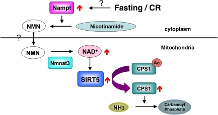 How SIRT5 is regulated during fasting and CR.