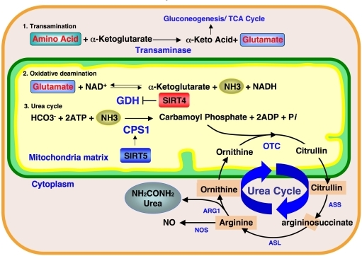 Ammonia detoxification pathway and mitochondrial sirtuins.