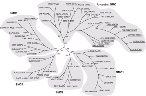 Evolutionary tree for SMC proteins, created using PHYLIP [69,70]. Each of the five SMC families is highlighted and labeled. The names of the eukaryotic proteins present in the ancestral family are underlined. Bootstrap values from 100 bootstrap trials are shown on the primary branches of the tree. AQUAE, Aquifex aeolicus; ARATH, Arabidopsis thaliana; ARCFU, Archaeoglobus fulgidus; ASPN, Aspergillus niger; BACSU, Bacillus subtilis; CAEEL, Caenorhabditis elegans; CAUCR, Caulobacter crescentus; DROS, Drosophila; ECOLI, Escherichia coli; JAPPU, Japanese pufferfish; METJA, Methanococcus jannaschii; MUS,mouse; MYCGE, Mycoplasma genitalium; MYCHR, Mycoplasma hyorhinis; MYCPN, Mycoplasma pneumonia; PYRAB, Pyrococcus abyssii; PYRHO, Pyrococcus horikoshii; SCHP, Schizosaccharomyces pombe; SYNSP, Synechocystis sp.; THEMA, Thermotoga maritima; TREPA, Treponema pallidum; XENLA, XENO, Xenopus laevis; YEAST, Saccharomyces cerevisiae.