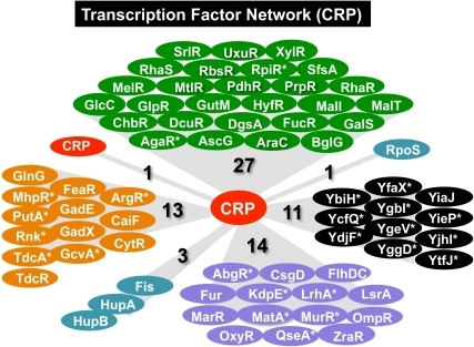 The hierarchy of regulation network of CRP.A total of 70 genes for transcription factors are organized under the control of CRP. Transcription factors are classified on the basis of regulation targets: regulators for carbon metabolism (green background), nitrogen metabolism (orange background), and for stress-response (purple background). Some nucleoid proteins play not only architectural roles but also regulatory roles (blue-green background). A number of genes for uncharacterized transcription factors are under the control of CRP (black background). The set of newly identified CRP targets in this study are shown by asterisk.