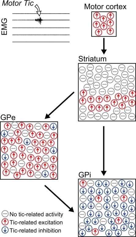 Non-specific tic-related neuronal activity. Schematic illustration depicting the relative frequency and spatial distribution of neuronal activity patterns in the cortico-basal ganglia system related to motor tics confined to a single muscle group (Bronfeld et al., 2011). In the striatum, tic-related activity was confined to the somatotopical territory of the tic location, but almost all projection neurons recorded from that territory displayed non-specific tic-related bursts of activity. In the pallidum, tic-related activity was detected in a very large and spatially diffuse subpopulation of neurons. Tic-related excitations and inhibitions were the predominant responses in GPe and GPi neurons, respectively.