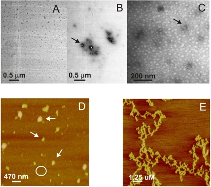 Morphology of pH-induced apoA-I aggregates.Panels illustrate representative images of apoA-I samples studied by transmission Electron Microscopy (A–C) and Atomic Force Microscopy (D,E) A) and B) Protein was incubated at 0.4 mg/mL and 37°C for 24 h at pH 7.4 or pH 5.0, respectively. C) ApoA-I after 48 days incubation at 37°C and pH 5.0. Black arrows in the figures indicate some of the oligomeric structures. D) ApoA-I (0.6 mg/mL) incubated at pH 5.0 for 24 h at 37°C, and loaded onto mica. Small size oligomers covering the surface of the mica (represented by the white circle), plus some larger complexes (white arrows) predominated, and some long, thin, unstructured protofibers could also be observed (panel E). Scale bars are shown in each panel.