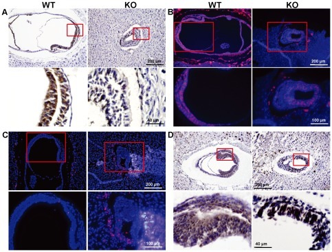 Decreased proliferation and increased apoptosis in Cul4b  embryos.(A) Paraffin sections of wild-type and Cul4b  embryos at 7.5 dpc were stained with an antibody against Ki67, a proliferation marker. Sections were counterstained with haematoxylin. Lower panels are the higher magnification of the upper panels. (B) Paraffin sections of wild-type and Cul4b  embryos at 7.5 dpc were analyzed by immunostaining against BrdU, and counterstained with DAPI. Lower panels are the higher magnification of the upper panels. (C) Paraffin sections of wild-type and Cul4b  embryos at 7.5 dpc were analysed by TUNEL assay for labeling apoptotic cells, and counterstained with DAPI. Lower panels are the higher magnification of the upper panels. (D) Paraffin sections of wild-type and Cul4b  embryos at 7.5 dpc were stained with an antibody against cyclin E. Sections were counterstained with haematoxylin. Lower panels are the higher magnification of the upper panels.